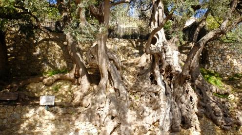 Världens äldsta olivträd