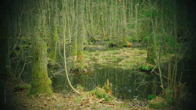 Skogstjärnsmagi