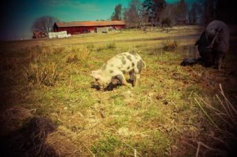 En helt vanlig gris