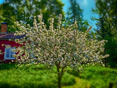 Det perfekta körsbärsträdet